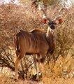 Greater Kudu in kenya