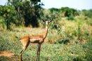 Gerenuk antelope in kenya