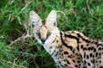 Serval Cats