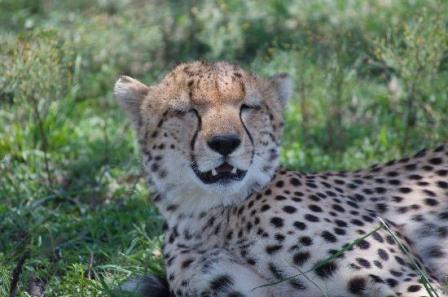 leopards of masai mara at richards camp
