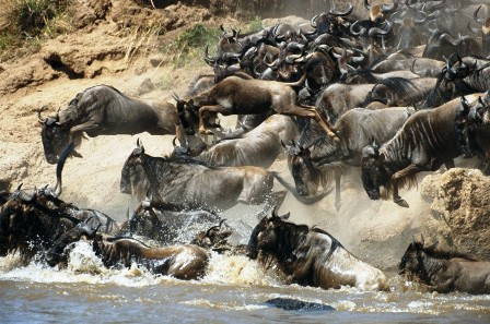 the wildebest one of the vast of Safaris Package start from a day tour up to days