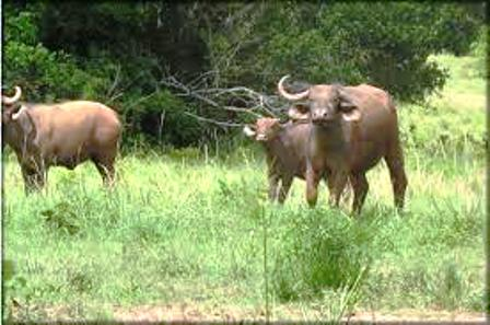 buffalos in Shimba hills National Reserve
