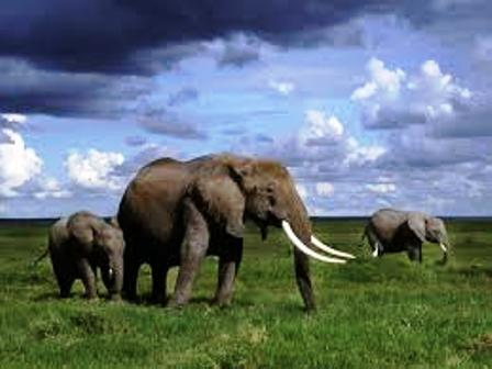 the big  elephants that feed on the large acacia trees