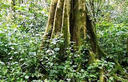 Big trees in Kakamega Forest National Park
