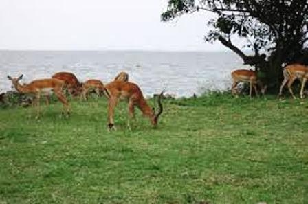 The Impala feeding on the shores of lake victoria