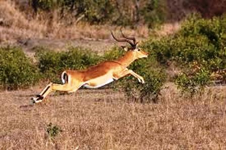 The Impala Running from the Camera