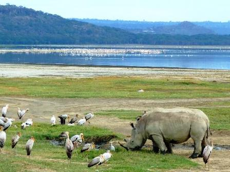 the rhinocerous of Lake Nakuru National Park