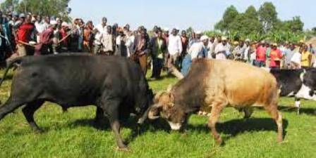 Bull Fighting one the SPORTS OF LUHYA PEOPLE OF KENYA