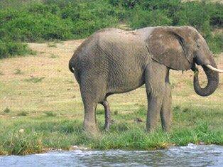 The Elephants of Amboseli
