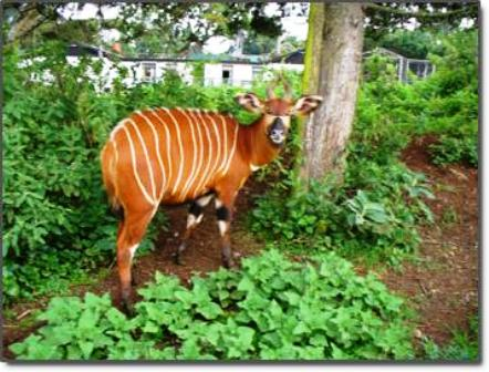 The Duiker antelope in Wildlife in Arabuko sokoke