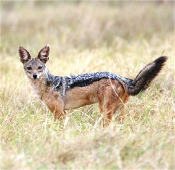 Black backed Jackal in Kenya