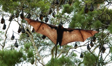 Kenya Bats