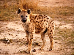 one spotted hyena in kisumu impala sanctuary