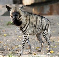 The  Hyenas of masai mara game reserve