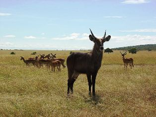 DeFassa Waterbuck in kenya