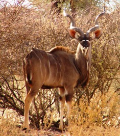 Greater Kudu in kenya