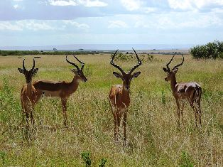 Impala animals in kenya