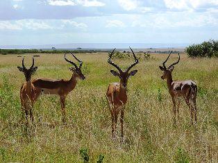 Impala animals in kenya