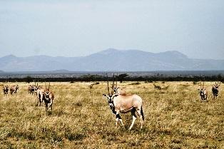 Oryx Antelope in Kenya