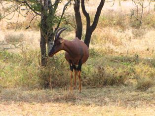 Topi Antelopes in Kenya and Africa