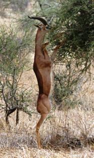 Gerenuk in samburu national park