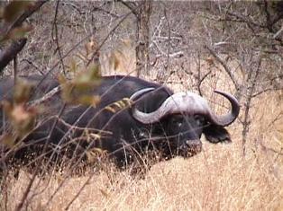 Kenya Cape buffalo
