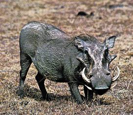 Kenya Big Mammals the Warthog
