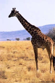 the girrafe of nairobi national park