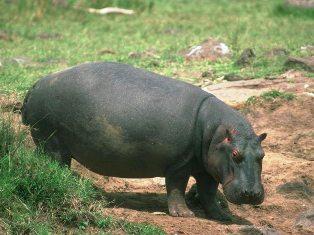 Kenya Hippopotamus