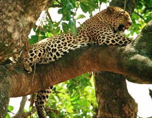 kenya animals Leopard
