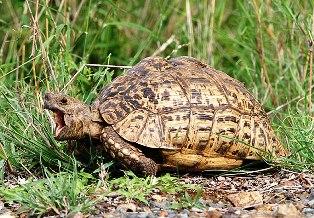 Leopard Tortoise -
