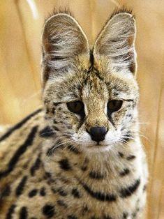Kenya Serval Cats