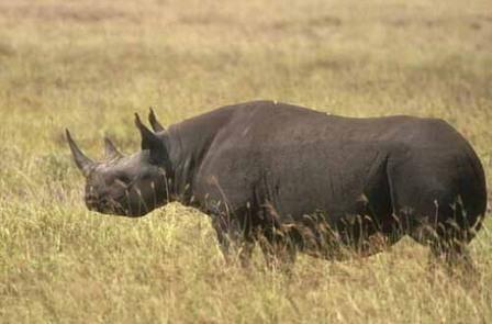 Kenya Black and White Rhinoceroses