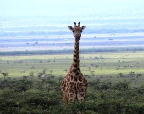 The Giraffe at Masai Mara National Reserve