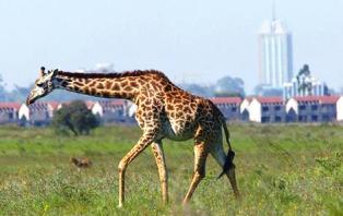 the giraffe of  Nairobi National Park