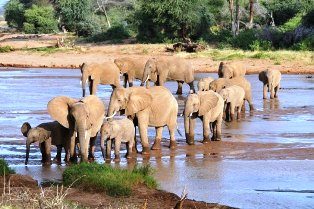 elephants of Samburu park crossing river ewaso