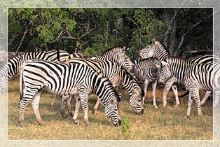 zebras of Lake Mburo National Park in Uganda