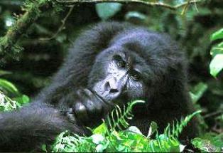 gorilla safari accommodation in Uganda