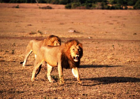 The lion of Masai Mara game reserve in Kenya