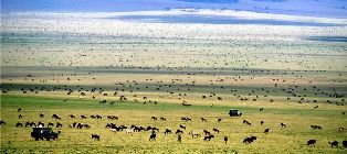 Wildebeest Migration in Masai Mara Game