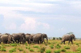Kenya African Elephant