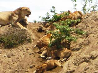 Lions of Tarangire National Park