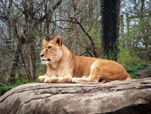 Simba the lion, king of african jungle