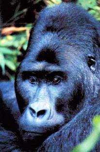 gorilla safaris in uganda and rwanda