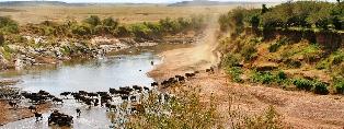Wildebeest animals