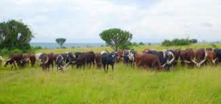 The Nyankole cows of the hima people in Uganda