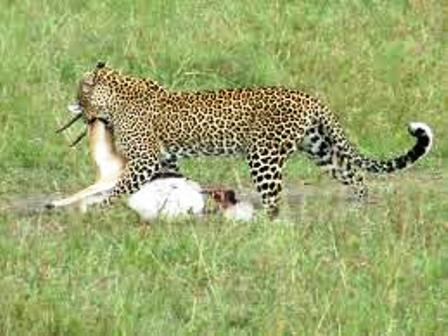 the earl morning kill at tsavo west national park kenya