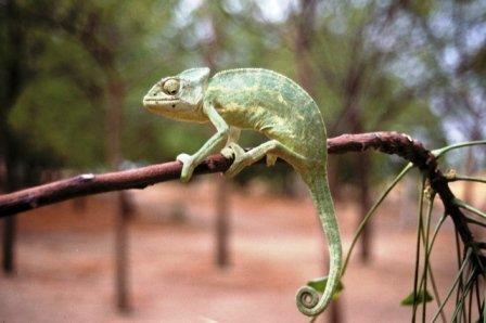 African Chameleon