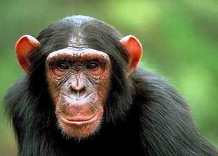 chimpanzee of Budongo forest