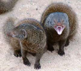 Eastern Dwarf Mongoose in Kenya
